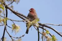 House Finch sitting in the tree