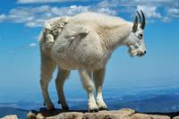 Colorado Mountain Goat