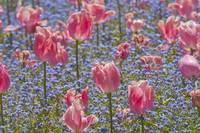 Pink Tulips and Forget Me Nots II