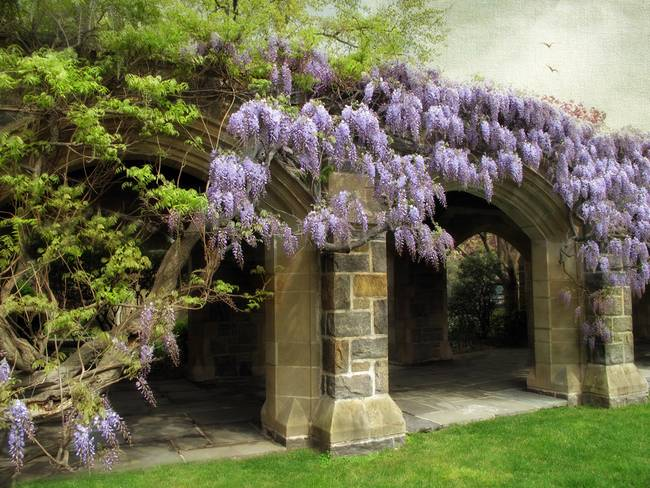 Beauty of Wisteria