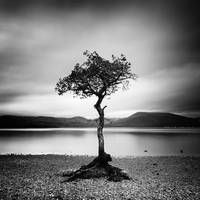 Scotland: Milarrochy Tree