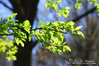 Tree, Branch, and Leaves 20120402_135a