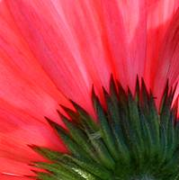 Macro Gerbera Bottom IMG_5456