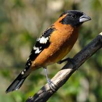 Male Black Headed Grosbeak Spring by Laura Mountainspring