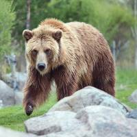 Grizzly Bear Encounter by Roger Dullinger