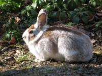 Snowshoe Hare - Time To Change Color For Winter