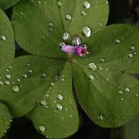 Raindrops on Bittergrass by Richard Thomas