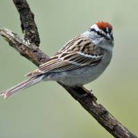 Chipping Sparrow by Laura Mountainspring