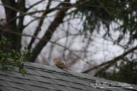 Mourning Dove 20120318_1a