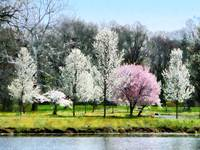 Line of Flowering Trees