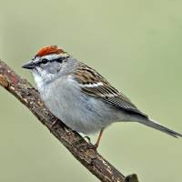 Chipping Sparrow Profile by Laura Mountainspring