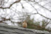 Mourning Dove 20120318_5a