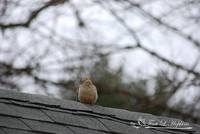 Mourning Dove 20120318_6a
