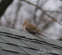 Mourning Dove 20120318_2b