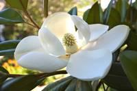 FloweringTreesShrubs gallery