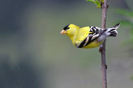 Male Goldfinch in His Breeding Feathers
