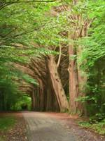 Lane of Irish trees 2