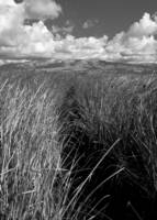 Alviso (Tall Grass)