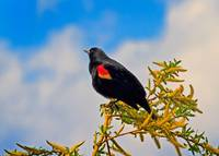 A Tree, A deep Blue Sky and A Male Red-winged Blac