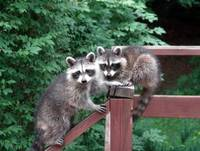 A Pair of Adorable Raccoons on Deck