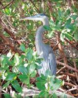 Surroundings - Blue Heron