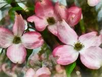 Pink Dogwood Closeup