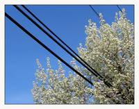 Electric Utility of Flowering Tree