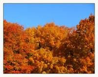 Fall Three Sugar Maple Trees