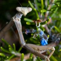 Praying Mantis on Rosemary Macro Close Up Art Prints & Posters by Hugh Campbell