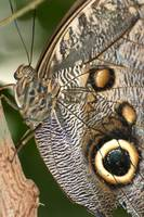 Brown Eyes of a Blue Morpho Butterfly