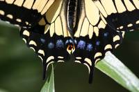 A Yellow Swallowtail's Tail