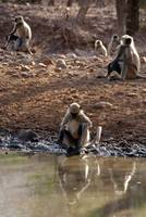 Langur Monkeys at Waterhole Ranthambore