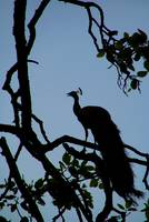 Silhouette of Peacock in Tree Ranthambore