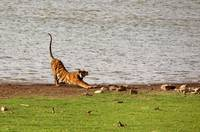 Tiger Stretching Ranthambore