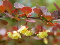 Spring Flowering Shrubs