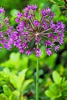 Flower  Pink Allium in Garden