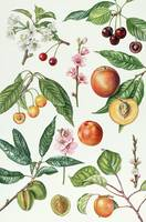 Cherries and other fruit-bearing trees by E. Rice