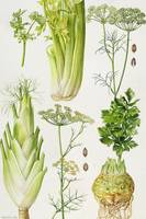 Celery, Fennel, Dill and Celeriac by Elizabeth Ric
