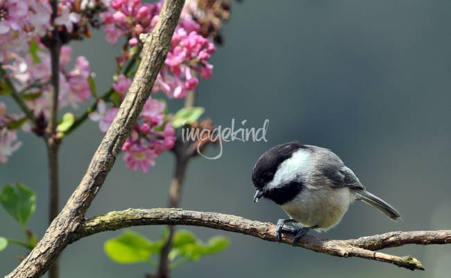 Chickadee With Lilac Background