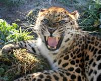 Amur Leopard in a bad mood