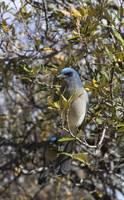 Blue Jay by Anne Harai