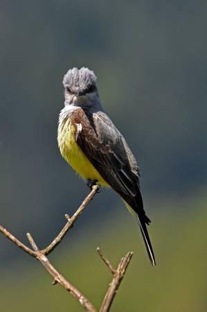 Western Kingbird II