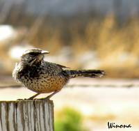 Cactus Wren on Post