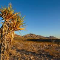 Yucca in Desert Art Prints & Posters by Brian Wancho