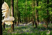 Barn Owls in the Bluebell Woods