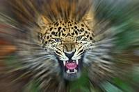 Amur Leopard - Miss Angry