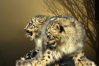 Snow Leopard - Si Am Twins