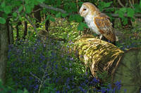 Barn Owl in Bluebell woods