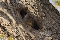 Hooded merganser in tree hole