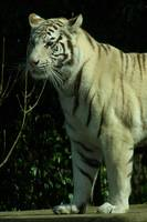 White Tiger Profile 1
